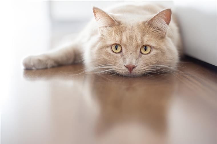 Animais. Porque é que os gatos gostam tanto de se roçar nas nossas pernas?