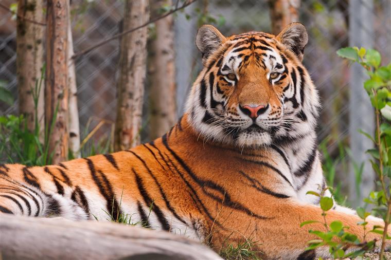 China. Mulher morre após ataque de tigre