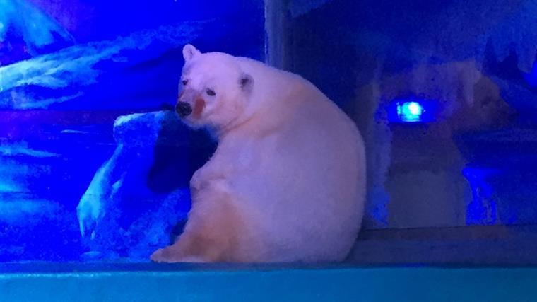 China. O urso polar 'mais infeliz do mundo' vive num centro comercial