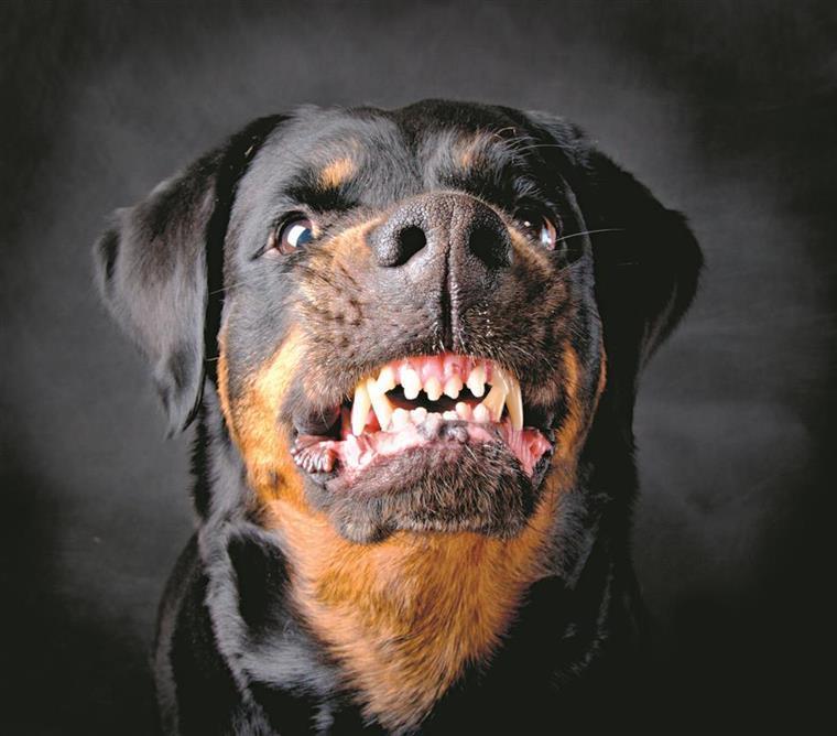 GNR e PSP vão dar formação a donos de cães perigosos